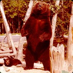 GA-0121 Brown Bear.jpg