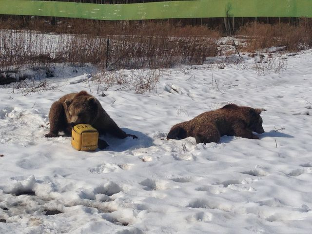 Video  European brown bears Spot And Scarlett playing with fire hose 3 2 2015