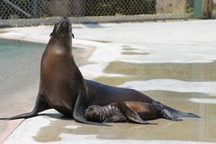 2014 Kona Baby Sea Lion Pup