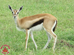 Thomsons Gazelles