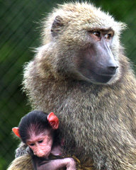 SF Safari - baboon & baby.jpg
