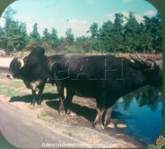 SA2-Water-Buffalo-and-Zebu-Bull.jpg