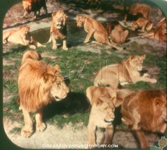 SC4-Lions-Resting-Near-Water-Hole.jpg