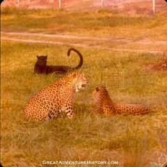 GA-0132-Leopards.jpg