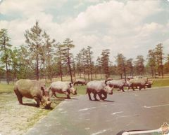 in the park- rhinos