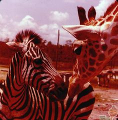 GA-0124 Zebra and Giraffe Pals.jpg