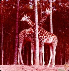 GA-0111 Pair of Giraffes.jpg