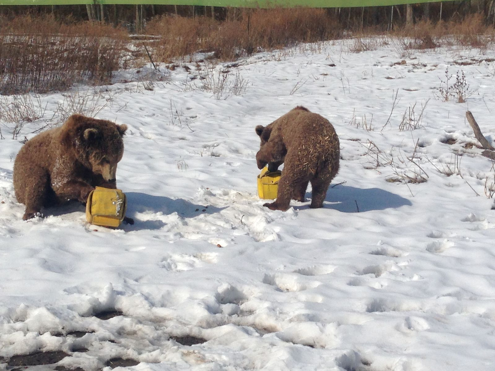 Spot And Scarlett play with fire hose enrichment cubes