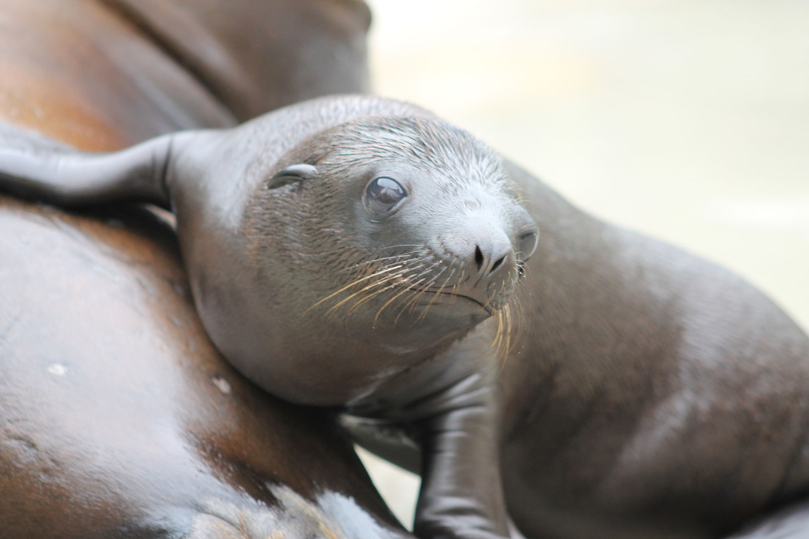 2015 Two New Sea Lion Pups