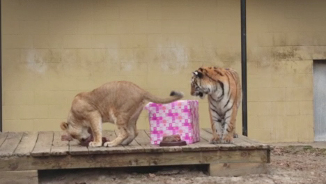 1 Year Birthday of Lion and Tiger Cubs