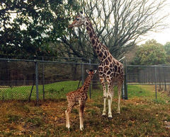 PHOTO  Mom Noel & baby giraffe Mika