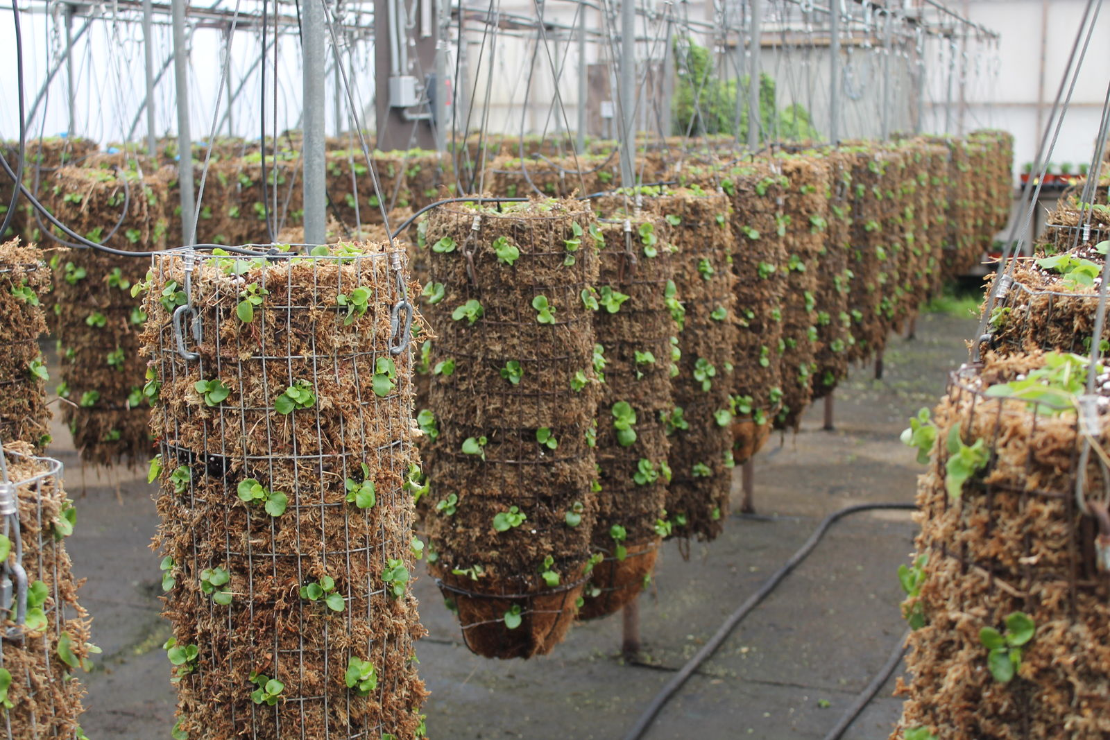 PHOTO   SFGAd greenhouses filled with beginning stages Of hanging baskets