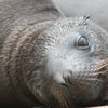 Sea lion Pup Kona closeup 2 copy