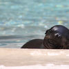 Sea lion Pup Kona emerging from first swim copy