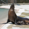 Sea lion Pup Kona And Mom Anoki sunning copy