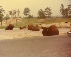1980 Roadside Bison