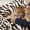 Photo   Dr Keiffer Holding Lion Cub Brothers