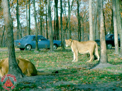 SFGA3_LION_NOV74_0002 copy.jpg