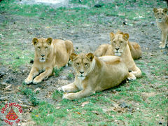 SFGA3_LION_SEP76_0001 copy.jpg