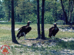 SFGA3 VULTURES ND 0007 copy