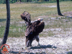 SFGA3 VULTURES ND 0008 copy