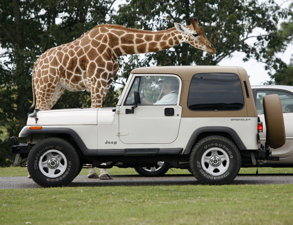 SF Safari - giraffe & jeep.jpg