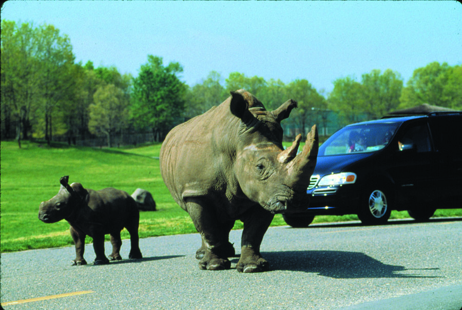 SF Safari - rhinos & car.jpg