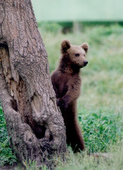 SF Safari - European brown bear cub.jpg