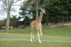 2020 Wild Safari Welcomes Fourth Giraffe Calf